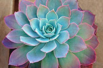 aloe-vera-plant-full